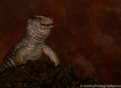 Bosc-Monitor-Lizard-copyright-photographers-on-safari-com-6128