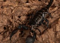 Emperor-Scorpion-copyright-photographers-on-safari-com-6142