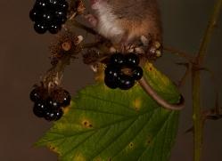 Harvest Mouse-copyright-photographers-on-safari-com-6156