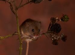 Harvest Mouse-copyright-photographers-on-safari-com-6157