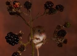 Harvest Mouse-copyright-photographers-on-safari-com-6159