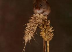 Harvest Mouse-copyright-photographers-on-safari-com-6163