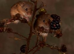 Harvest Mouse-copyright-photographers-on-safari-com-6164