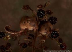 Harvest Mouse-copyright-photographers-on-safari-com-6165