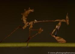 Indian-Rose-Mantis-copyright-photographers-on-safari-com-6167