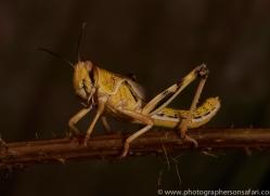 Locust-copyright-photographers-on-safari-com-6173