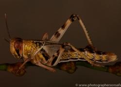 Locust-copyright-photographers-on-safari-com-6176