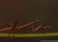 Madagascan-Marbled-Mantis-copyright-photographers-on-safari-com-6177
