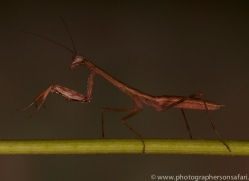 Madagascan-Marbled-Mantis-copyright-photographers-on-safari-com-6179