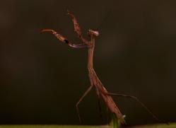 Madagascan-Marbled-Mantis-copyright-photographers-on-safari-com-6183