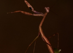 Madagascan-Marbled-Mantis-copyright-photographers-on-safari-com-6186