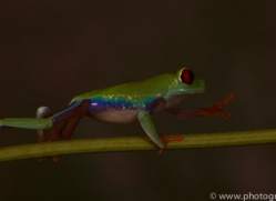 Red-Eyed-Tree-Frog-copyright-photographers-on-safari-com-6192