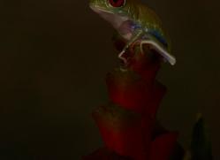 Red-Eyed-Tree-Frog-copyright-photographers-on-safari-com-6196