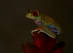 Red-Eyed-Tree-Frog-copyright-photographers-on-safari-com-6197