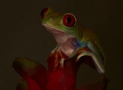 Red-Eyed-Tree-Frog-copyright-photographers-on-safari-com-6198