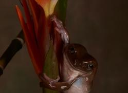 Whites-Tree-Frog-copyright-photographers-on-safari-com-6206
