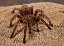 chilean-rose-tarantula-copyright-photographers-on-safari-com-8129