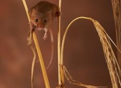 harvest-mouse-copyright-photographers-on-safari-com-8143