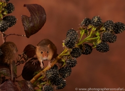 harvest-mouse-copyright-photographers-on-safari-com-8606