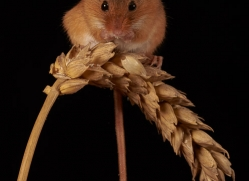 harvest-mouse-copyright-photographers-on-safari-com-8614