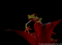 red-eyed-tree-frog-tarantula-copyright-photographers-on-safari-com-8637