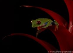red-eyed-tree-frog-tarantula-copyright-photographers-on-safari-com-8650