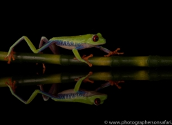 red-eyed-tree-frog-tarantula-copyright-photographers-on-safari-com-8655