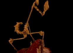 wandering-violin-mantis-copyright-photographers-on-safari-com-8180