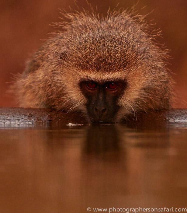 Vervet-Monkey-copyright-photographers-on-safari-com-6346