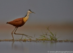 African-Jacana-copyright-photographers-on-safari-com-6212