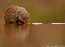 Banded-Mongoose-copyright-photographers-on-safari-com-6219