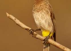 Black-Capped-Bulbul-copyright-photographers-on-safari-com-6261