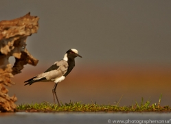 Blacksmiths-Plover-copyright-photographers-on-safari-com-6225