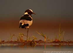 Blacksmiths-Plover-copyright-photographers-on-safari-com-6226