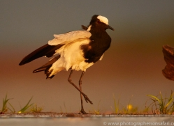 Blacksmiths-Plover-copyright-photographers-on-safari-com-6227