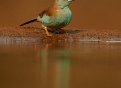 Blue-Waxbill-copyright-photographers-on-safari-com-6231