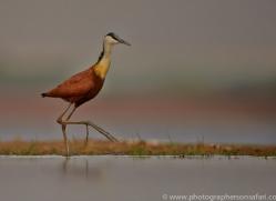 African-Jacana-copyright-photographers-on-safari-com-6211
