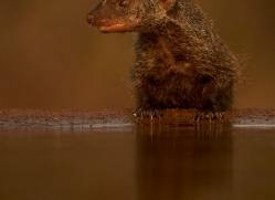 Banded-Mongoose-copyright-photographers-on-safari-com-6221