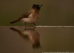 Black-Capped-Bulbul-copyright-photographers-on-safari-com-6258