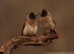 Black-Capped-Bulbul-copyright-photographers-on-safari-com-6259