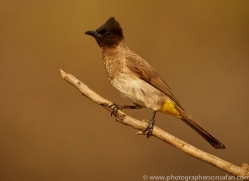 Black-Capped-Bulbul-copyright-photographers-on-safari-com-6260