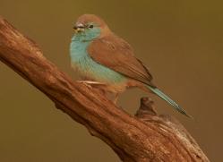 Blue-Waxbill-copyright-photographers-on-safari-com-6234