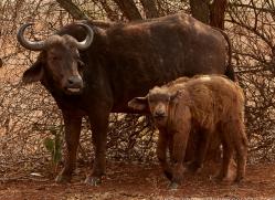 Buffalo-copyright-photographers-on-safari-com-6239