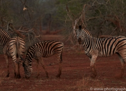 Burchell's-Zebra-copyright-photographers-on-safari-com-6245