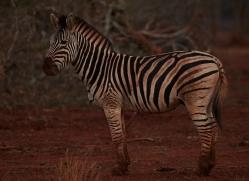Burchell's-Zebra-copyright-photographers-on-safari-com-6246