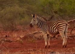 Burchell's-Zebra-copyright-photographers-on-safari-com-6247