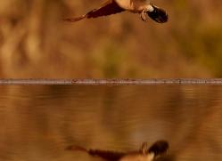 Cape-Turtle-Dove-copyright-photographers-on-safari-com-6248
