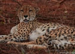 Cheetah-copyright-photographers-on-safari-com-6254