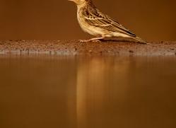 Cinnamon-Breasted-Bunting-copyright-photographers-on-safari-com-6255