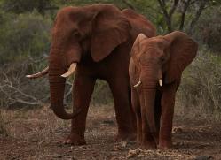 Elephant-copyright-photographers-on-safari-com-6263